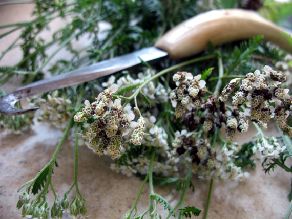 fresh cut yarrow